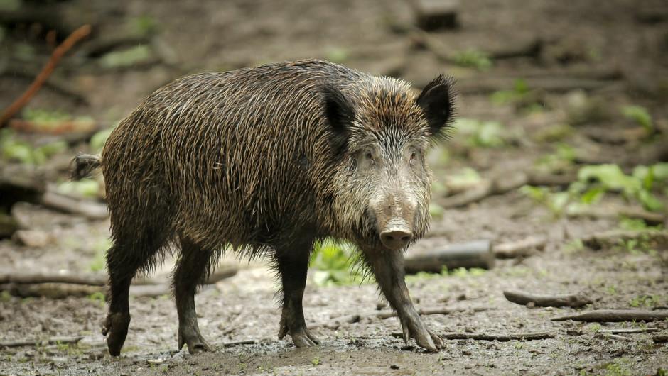 Höchste Sicherheit im Fall der Afrikanischen Schweinepest