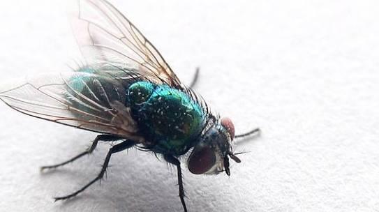 Laborstudie: Können Fliegen ASP übertragen?