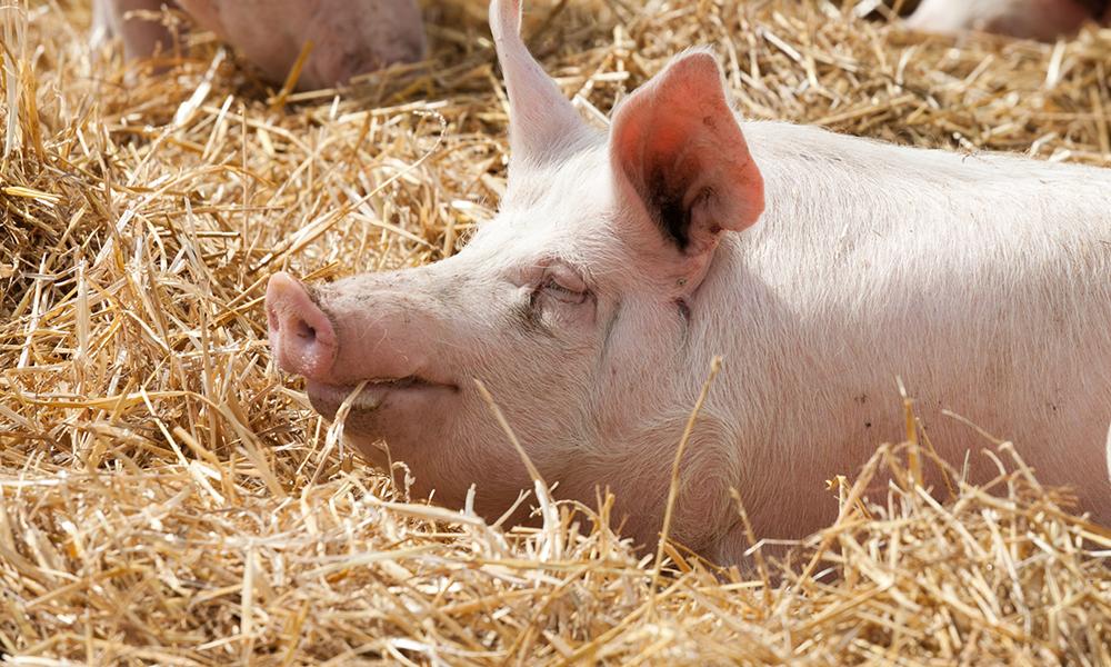 Laut Verbrauchern wirken Schweine auf Stroh glücklicher