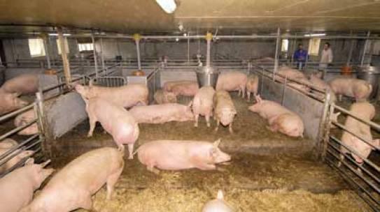 Bestandsschutz für Sauenställe gefordert