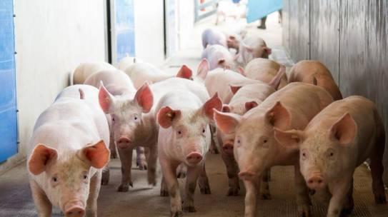 Genehmigung für Tierwohlställe soll einfacher werden