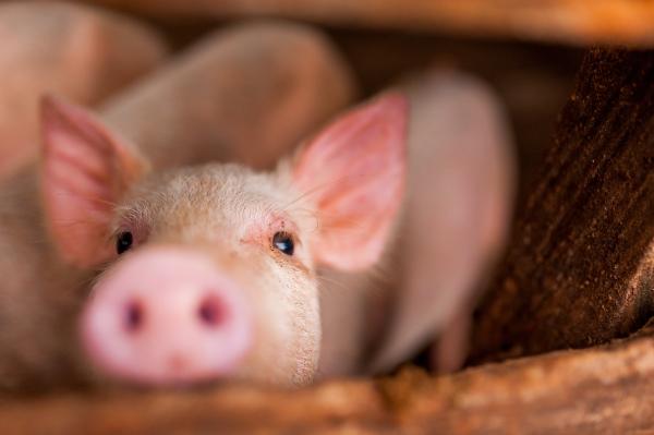Tierarztvorbehalt gegen Isofluran-Betäubung aufgehoben