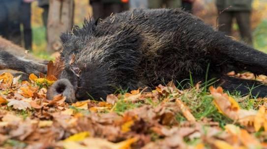 Landwirtschaftsministerium erweitert Schweinepest-Verordnung nach neustem ASP-Fall in Polen