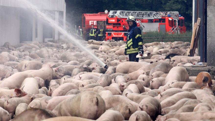 NRW will Brandschutz in Schweineställen erhöhen