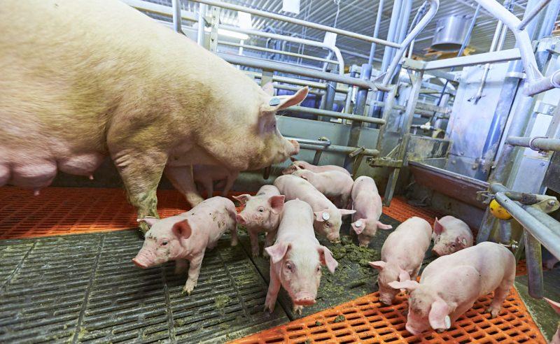 Italiens Schweinehaltung steht vor problematischen Auswirkungen der Corona-Pandemie