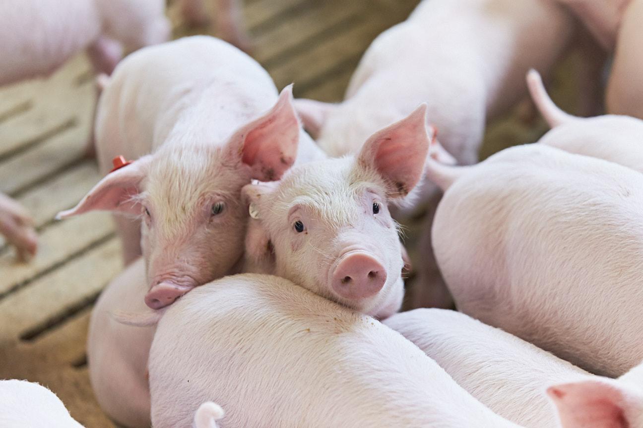Tierwohlabgabe: Agrarminister-Konferenz gibt Machbarkeitsstudie in Auftrag