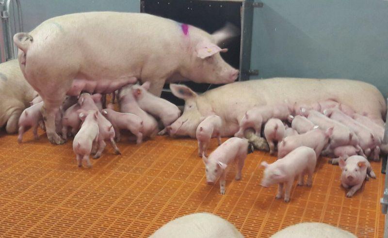 """Gesundheitsministerin: """"Vergessen durch Corona die Gefahr der Afrikanischen Schweinepest"""""""