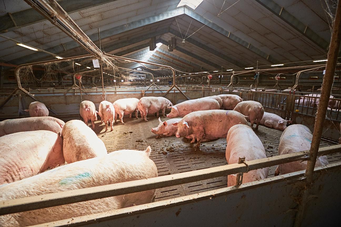 """Landwirtschafts- ministerin Klöckner macht Druck beim """"Systemwechsel"""" in der Tierhaltung"""