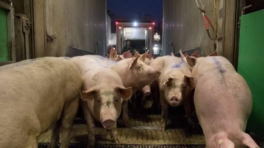 QS und ITW gewähren Ausnahmen wegen des Schweinestaus