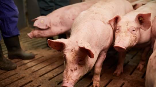 Zukunft der Nutztierhaltung: Studie in Kürze fertig